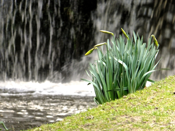 daffodils_by_canal_15-3-15